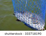 wild freshwater catfish caught... | Shutterstock . vector #333718190