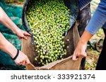 Small photo of Harvesting olives in Sicily village, Italy