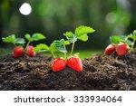 Close Up Of The Ripe Strawberr...