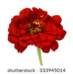 red flower on a white background | Shutterstock . vector #333945014