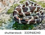 A wild California King Snake (Lampropeltis getula californiae) sits coiled on a rock in the hills of Monterey, California.