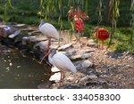 Two White Ibis  Eudomiscus...