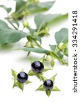 Small photo of Belladonna (Belladonna) - berries ago Tree branch with leaves