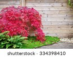 Red Japanese Maple Tree Agains...