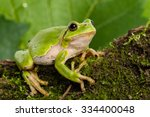European Green Tree Frog  Hyla...