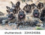 african wild dogs in chobe... | Shutterstock . vector #334434086