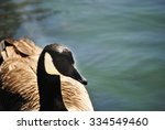 Canadian Goose Swimming On...