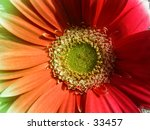 Multi colored gerber daisy. - stock photo