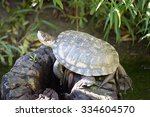 Small photo of Western Pond Turtle (Actinemys marmorata or Emys marmorata)