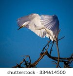 Great White Egret Landing On...