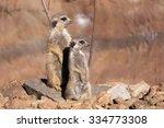 Female Of Meerkat Or Suricate...