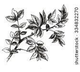 drawing of rose s leaves  | Shutterstock . vector #334832270