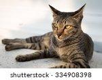 Portrait Of Thai Cat Lying Wit...