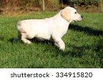nice yellow labrador puppy... | Shutterstock . vector #334915820