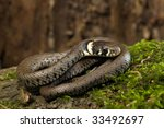 Young Grass Snake In Habitat ...