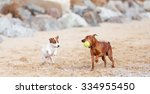 Small photo of Jack Russell Terrier puppy and mini pinscher playing on the beach