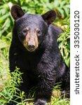 Small photo of Young american black bear - Ursus americanus
