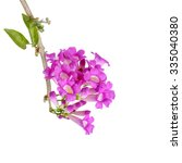 Flower Pink Clematis Isolated...