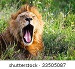 African Lion Yawning