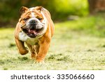 Purebred English Bulldog Movin...