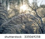 Early Morning Frosty Ferns