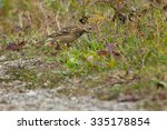 Small photo of American Pipit standing in the grass at the edge of a path.