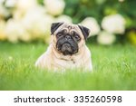 Pug Lying On The Lawn In The...