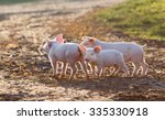 Cute Piglets Walking On Mud An...