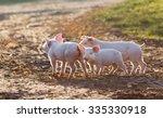 Cute Piglets Walking On Mud An...