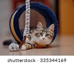 Stock photo the domestic kitten of a multi colored color plays on a floor 335344169