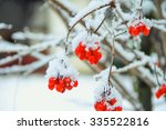 Red Berries Of Snowball Tree On ...