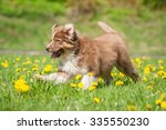 Australian Shepherd Puppy...