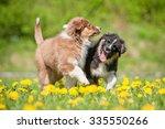 Two Australian Shepherd Puppies ...