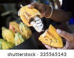 Raw Cacao Plant Open With Hand...