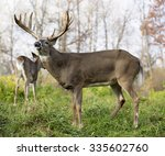 Whitetail Deer Buck In Rut ...