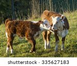 two hereford calves touching... | Shutterstock . vector #335627183