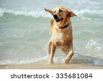 Golden Retriever Dog Playing I...