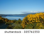 Yellow Flowers Of Gorse Bushes...