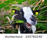 People Friendly Goat From A...