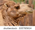 Camel Is An Ungulate Within Th...