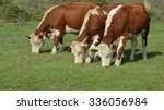 Hereford Cattle Standing On A...
