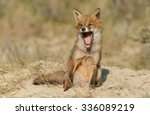 Yawning Red Fox Cub