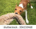 Red Basenji Puppy Playing With...