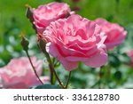 Stock photo rose in the garden 336128780