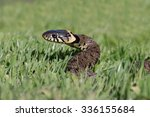 Grass Snake Coiled In Vibrant...