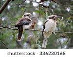 Two Kookaburras In A Tree