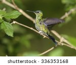 Small photo of Sapphire-spangled Emerald Hummingbird (Amazilia rondoniae), Mangueiras Ranch, Bairro da Ponte Nova, Sao Paulo, Brazil (Photo: Peter Llewellyn)