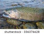 Wild Chinook Salmon In Idaho