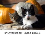 Stock photo cats and pumpkins 336518618