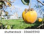 Fall Season  Ripe Persimmon...